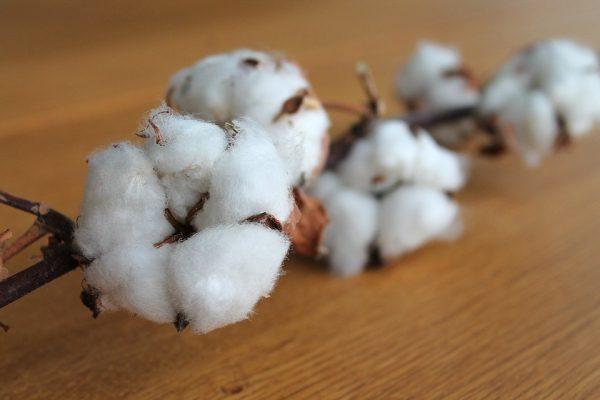 A-branch-of-organic-cotton-flower